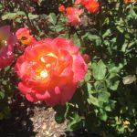 ポートランドの別名は「バラの街」。ローズ・ガーデンのきれいなバラは見逃せない!